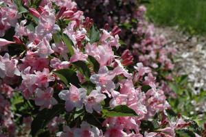 Вейгела цветущая «Боскуп  Глори»