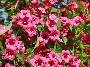 Вейгела цветущая «Бристол Руби»