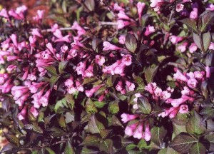 Вейгела цветущая «Нана Пурпуреа»
