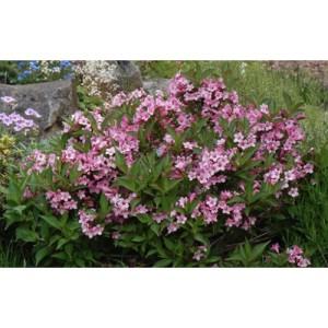 Вейгела цветущая  «Пинк Поппет»