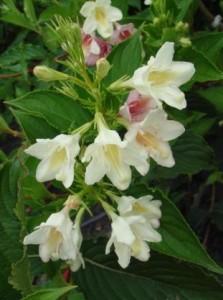 Вейгела цветущая «Альба»