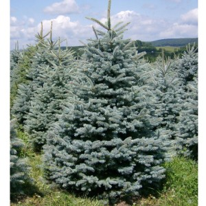 Picea pungens «Kaibab»