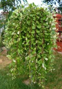 Salix purpurea «Pendula»