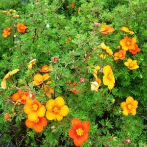 Лапчатка  кустарниковая  «Хопли Оранж»