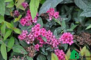 Spiraea japonica «Anthony Waterer Sapho»